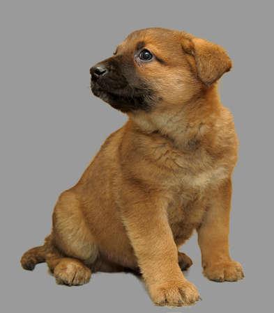 Brown puppy photo