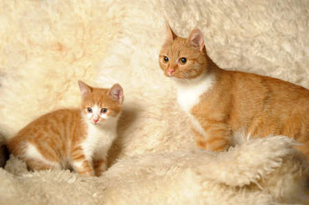 Red cat with a kitten Stock Photo - 18039023