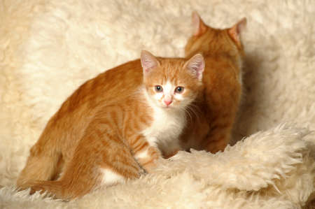Red cat with a kitten photo