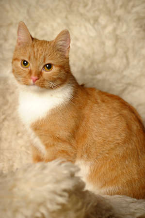 tiny red and white cat photo