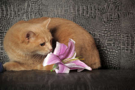 Red cat and lilac lily Stock Photo - 11996096