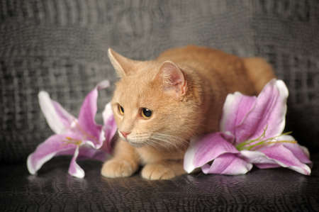 Red cat and lilac lily photo