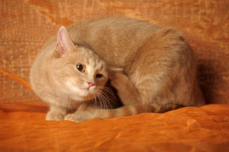 ginger cat: The cat scratches behind an ear