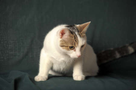 White cat with gray stains photo