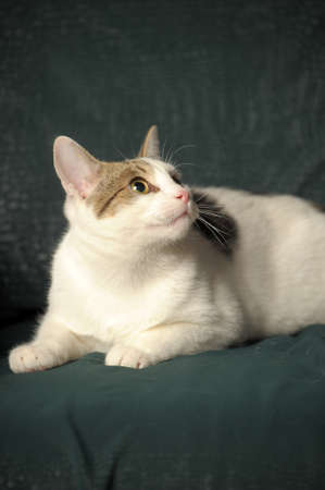 frisky: White cat with gray stains Stock Photo