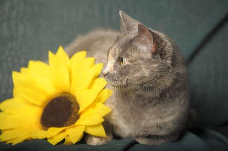 Tortoise short-haired cat photo