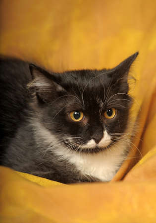 Black with white a kitten on a yellow background Stock Photo - 11960661