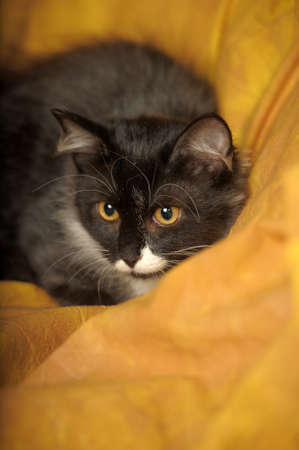 Black with white a kitten on a yellow background Stock Photo - 11960666