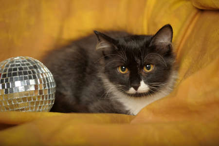 catfight: Black with white a kitten on a yellow background