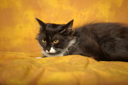 Black with white a kitten on a yellow background Stock Photo - 11960665