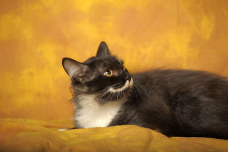 Black with white a kitten on a yellow background Stock Photo - 11960664