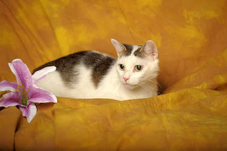 anther: White cat with gray stains with Lilac lily Stock Photo