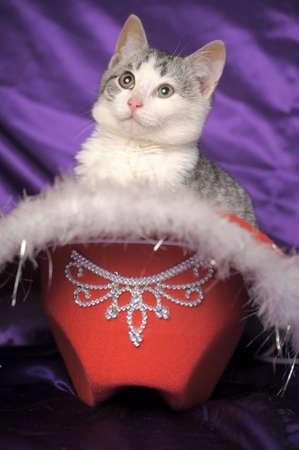 British gray with white kitten photo