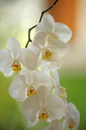ikebana: white orchid Stock Photo