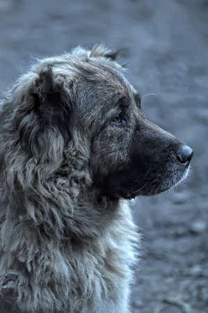 caucasian shepherd: Caucasian Shepherd