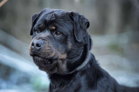 Rottweiler photo