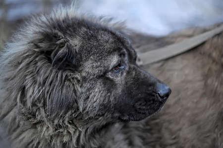 Caucasian Shepherd photo
