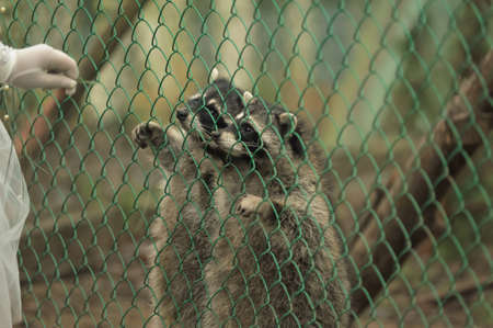 raccoons: Raccoon pushing paws through a cage lattice