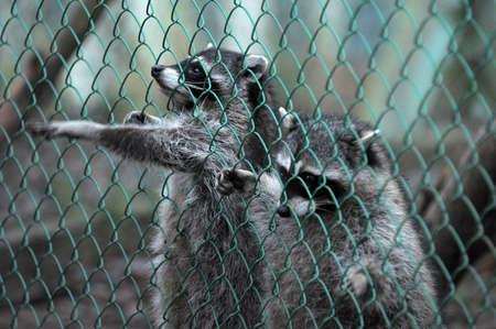 Raccoon pattes poussant à travers un réseau cage Banque d'images - 11994084