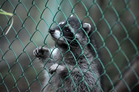 https://us.123rf.com/450wm/evdoha/evdoha1201/evdoha120101069/11994090-raccoon-pushing-paws-through-a-cage-lattice.jpg?ver=6