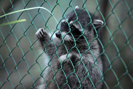 Raccoon pushing paws through a cage lattice Stock Photo - 11994089