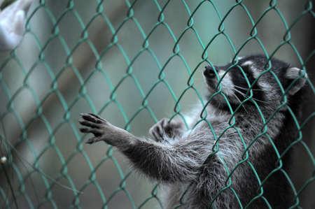 Raccoon pushing paws through a cage lattice Stock Photo - 11994088