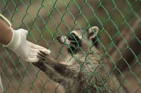 Raccoon pushing paws through a cage lattice photo