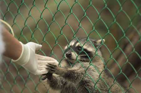 Raccoon pushing paws through a cage lattice Stock Photo - 11994085