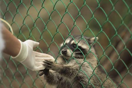 Raccoon pushing paws through a cage lattice Stock Photo - 11994085