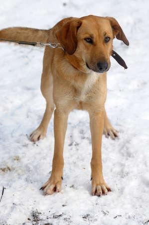 Beautiful fox like dog standing in a snowy landscape Stock Photo - 17581020
