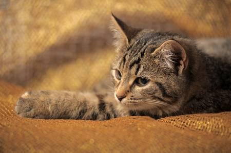 laying forward: brown tabby kitten