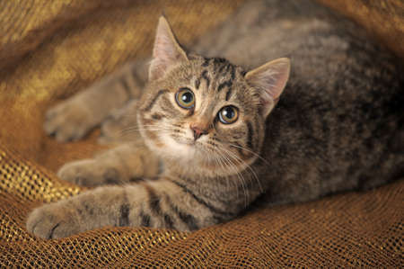 brown tabby kitten Stock Photo - 12052970