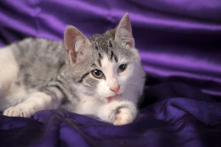 white with gray kitten half-breed Briton photo