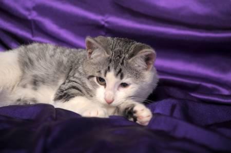 briton: white with gray kitten half-breed Briton Stock Photo