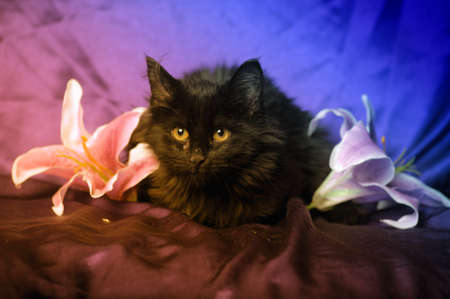 black cat and lily flower Stock Photo - 17581230