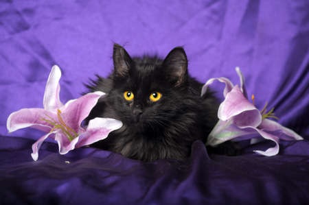 black cat and lily flower Stock Photo - 17581229