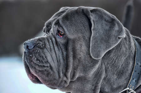 Mastino Napoletano portrait  Stock Photo - 12043729