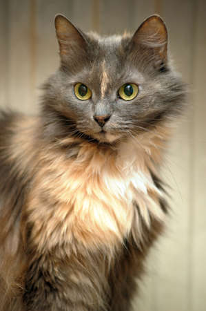 beautiful fluffy gray cat photo
