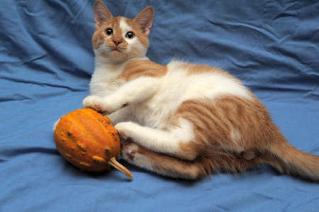 red & white cat and a small pumpkin photo