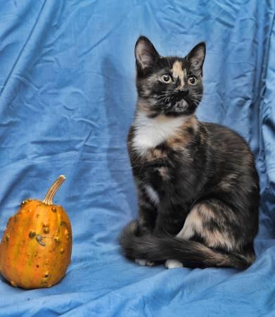 tortoiseshell cat and a small pumpkin photo