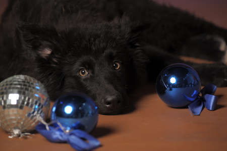 Black puppy Stock Photo - 13280869