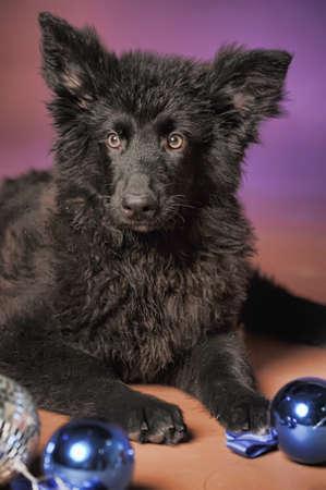 Black puppy Stock Photo - 13280874