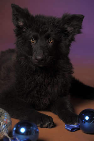 Black puppy Stock Photo - 13280871