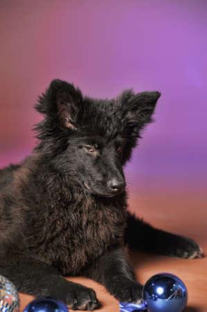 Black puppy Stock Photo - 13280872