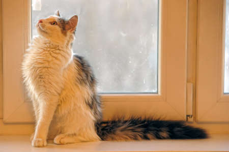 white and gray fluffy cat on the windowsill photo
