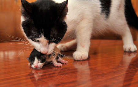 Cat with a newborn kitten in teeth photo