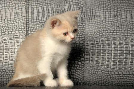 British kitten, lilac-cream color bicolor photo