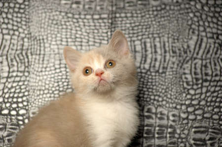 Brit�nico gatito, de color lila-color crema bicolor photo