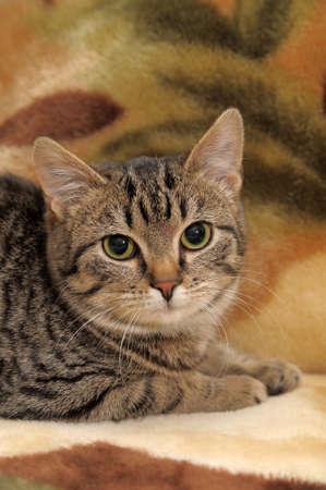 Striped cat Stock Photo - 12674731