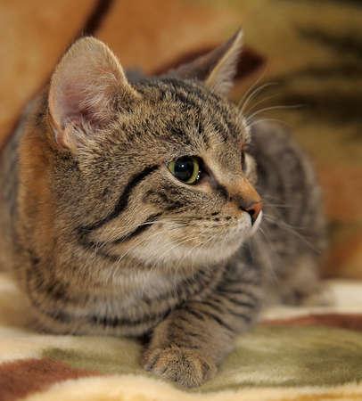 Striped cat Stock Photo - 12674715